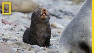 Fur Seals Overcome Extinction On 'Resurrection Island' – Ep. 1 | Wildlife: Resurrection Island