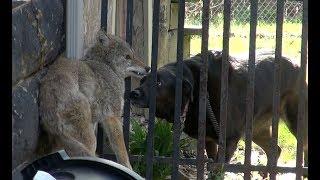 Dog Confronts Cornered Coyote!!!