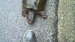 Snapping Turtle Snapping