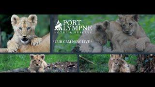 Lion Cub Cam | Live From Our Lion Enclosure