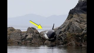 Listen As This Stranded Orca Cries To The Rescuers Who Are Trying To Save Her!