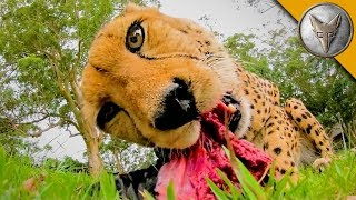 MEATING a Cheetah!