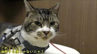 激おこ中の猫におやつあげてみたらどうなる?☆リキちゃん怒ったりおやつ食べたり大忙し☆ゴジラ猫☆【リキちゃんねる 猫動画】Cat  キジトラ猫との暮らし