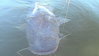 Huge Flathead Catfish Came Back for More