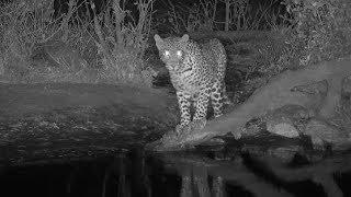 Djuma: Leopard-Tlalamba female comes for a drink-then stalks Civet - 21:21 - 09/19/19