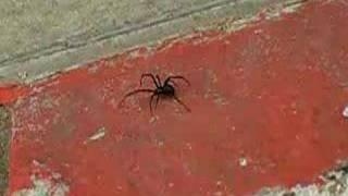 black widow crawling over pavement