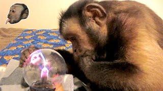 Capuchin Monkey Mind Blown by Plasma Light!