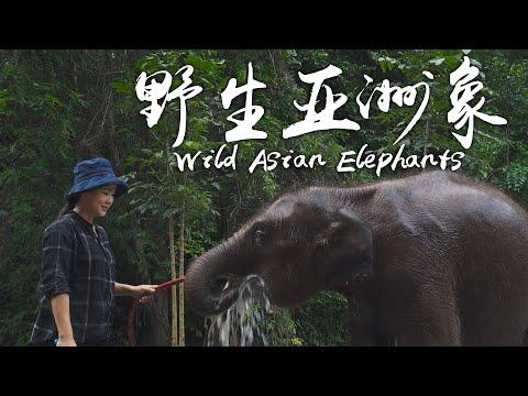 阿盆姐的Vlog|探访云南西双版纳最后的野生亚洲象!【滇西小哥】