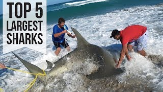 Top 5 Largest Sharks Caught