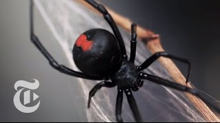 An Encounter With a Black Widow Spider | The New York Times