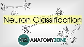 Types of Neurons by Structure - 3D Neuroanatomy Basics