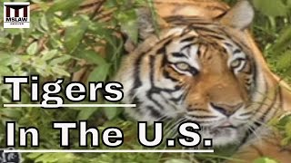 Inside The Exotic Animal Trade in America - The Plight of Tigers in The U.S.