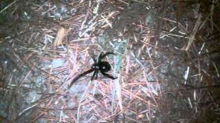 Backyard Black Widow