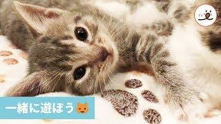 遊びに誘う子猫ちゃん🐱 みんなでワチャワチャ💕【PECO TV】