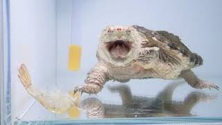 2019/3/22 真擬鱷龜食蝦子 hybrid snapping turtle