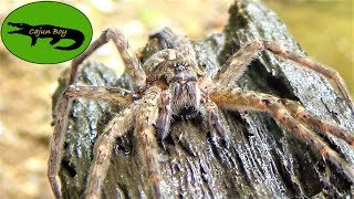 Giant Heccin Spider