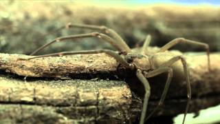 The Truth about the Brown Recluse