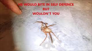 Huntsman spider WILL IT BITE ME