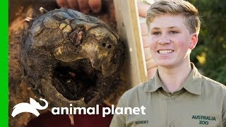 Two Feisty Alligator Snapping Turtles Get Pedicures! | Crikey! It's The Irwins