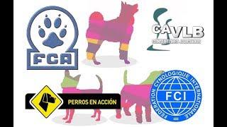 """""""Perros en acción"""" FCA–FCI INTERNATIONAL DOG SHOW Domingo 17 de junio Pista 3"""