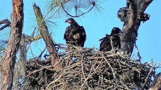 SWFL Eagles E's Get Airtime, Stand On Top Rail, Spar With Wings/Beaks 02-19-18