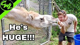 MOVING A GIANT CAMEL!!!
