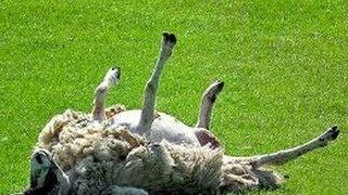 Afbeeldingsresultaat voor choking sheep