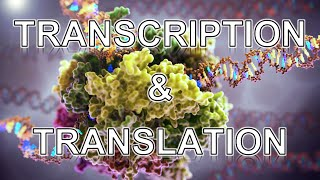 Transcription and Translation ANIMATION
