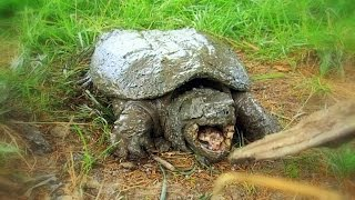 How to Find and Catch Snapping Turtles By Hand