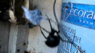 out house black widow