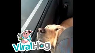 Pups Passed out in Car || ViralHog