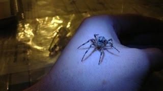 Handling/getting bitten by a male European Garden Spider