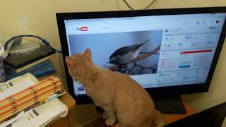 Cat Catching Birds on TV P1