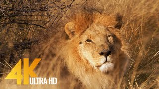 Lions in 4K 10 bit color - African Wildlife Animals - 5 HRS