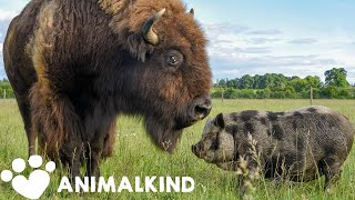 1200-pound bison takes care of every animal on farm   Animalkind