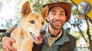 Dingo Meets a Coyote!