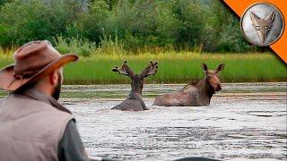 Wild Moose Encounter!