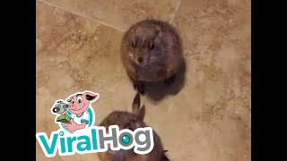 Adorable Prairie Dogs Begging For Treats || ViralHog