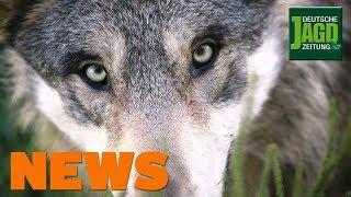 Toter Wolf, zerstörter Hochsitz, Muffelwild droht Totalabschuss u.w. - DJZ-News 46/2019