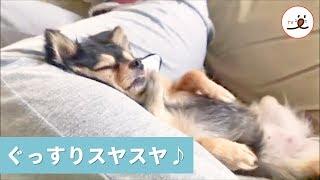 """ちょっと変わった """"ひざ枕"""" で眠るワンコさん💤 幸せそうな寝姿に…キュン❤️【PECO TV】"""