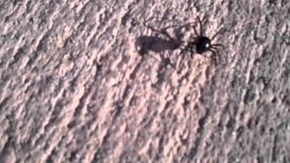Black Widow crossing a sidewalk. CREEPY
