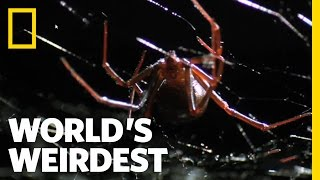 Deadly Mating | World's Weirdest
