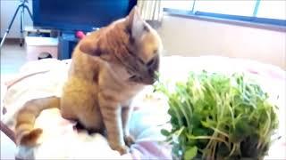 豆苗 初経験 猫動画