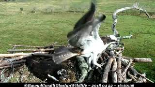 Aran brought in quite a big stick ~ ©Bywyd Gwyllt Glaslyn Wildlife