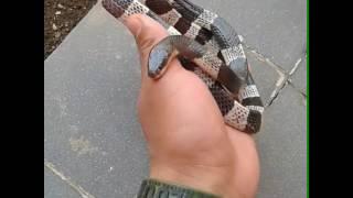 Freehandle ular berbisa ( Ular weling )#Ekaprasetya