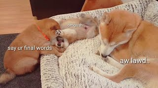 Is this the end of the lion? 😱 Shiba Inu puppies (with captions)