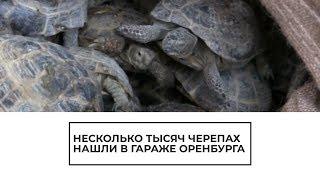 Несколько тысяч черепах нашли в гараже Оренбурга