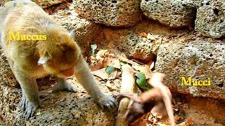 OMG ! Very Pity ! Pitiful baby monkey Macci got beaten two times of big hand from king Maccus
