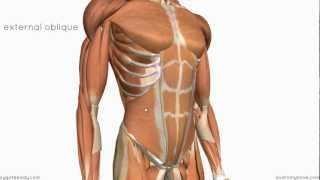 Layers of the Abdominal Wall Anatomy