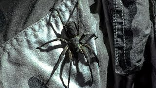 Extremely Venomous Wandering Spider Walking on Steve! | Deadly 60 | Earth Unplugged